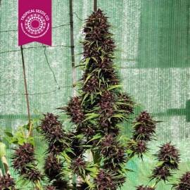 Smooth Smoke - FEM.  Qty. of Seeds-1 Seed