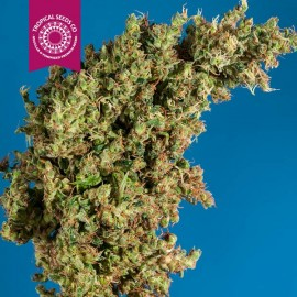 KING CONGO  Qty. of Seeds-5 Seeds