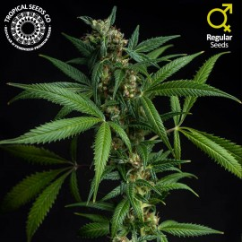 Athina North Greek Landrace - Club Strain