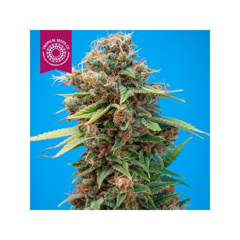 SMOOTH SMOKE REG  - TROPICAL SEEDS COMPANY - REGULAR & FEMINIZED
